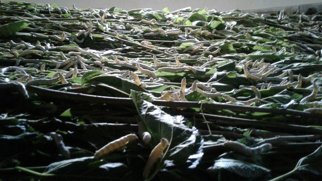 Silkworms!